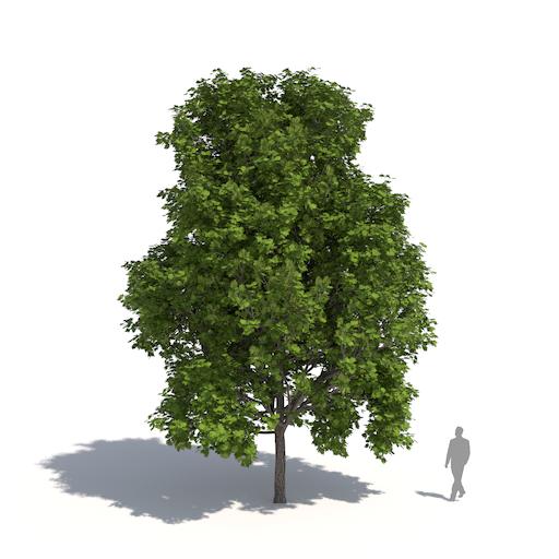 Acer rubrum