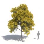 Laubwerk Plant silver wattle (Acacia dealbata)