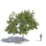Laubwerk Plant Persian silk tree (Albizia julibrissin)