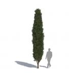 Laubwerk Plant Mediterranean cypress (Cupressus sempervirens)