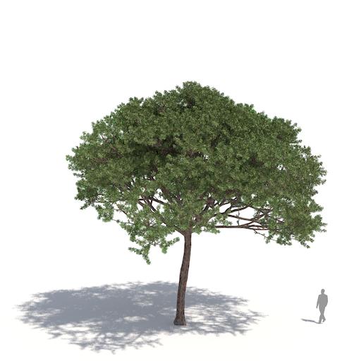 Laubwerk Plant stone pine (Pinus pinea)