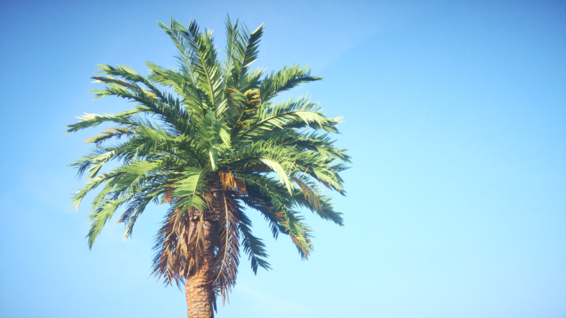 Rendering of a Canary Island date palm (Phoenix canariensis) included in the Laubwerk Plants Kit 4 - Subtropical Trees, by Mario Kelterbaum using CINEMA 4D and OTOY OctaneRender
