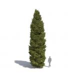 Picea abies by Laubwerk