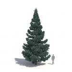 Picea pungens 'Glauca' by Laubwerk