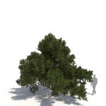 Pinus contorta subsp. contorta by Laubwerk
