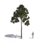 Pinus sylvestris by Laubwerk