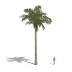 Caribean royal palm