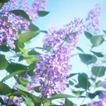 Syringa vulgaris by Laubwerk