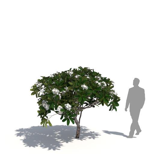 Great white frangipani
