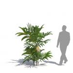 Dwarf mountain palm