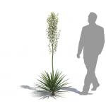 Mound lily yucca