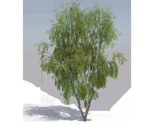 Laubwerk silver birch