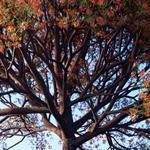 Rendering of a cockspur coral tree tree taken from the Laubwerk Plants Kit 4 - subtropical broadleaf trees, by Mario Kelterbaum using CINEMA 4D and OctanceRender