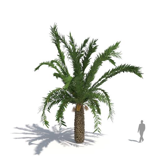 Laubwerk Plant Canary Island date palm (Phoenix canariensis)