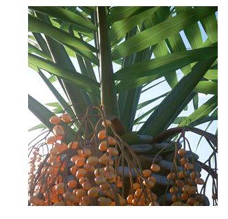 Laubwerk Plant Phonix canariensis detail