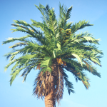 Rendering of a Canary Island date palm tree taken from the Laubwerk Plants Kit 4 - subtropical broadleaf trees, by Mario Kelterbaum using CINEMA 4D and OctanceRender