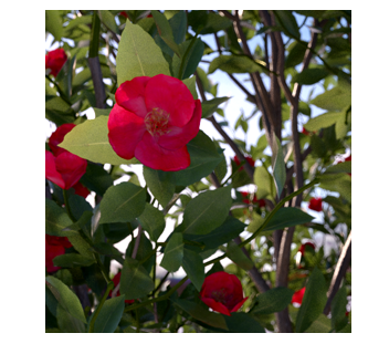 Camellia japonica, Laubwerk Plant, V-Ray 2-sided
