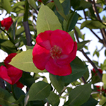 Camellia japonica, Laubwerk Plants Kit 4 1.0.9 using V-Ray 2-sided materials