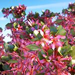 Pumeria rubra, Laubwerk Plants Kit Freebie 1.0.9 using new extended materials