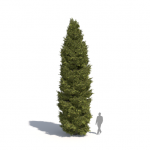 Picea abies by Laubwerk