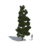 Pinus strobus by Laubwerk