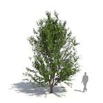 De Vilmorin handkerchief tree