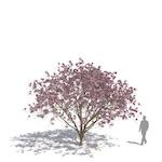 Norbert's magnolia