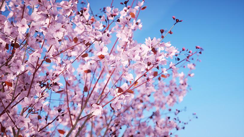 Laubwerk Plants Kit 6 - Prunus cerasifera 'Nigra'