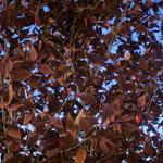 Prunus cerasifera 'Nigra' - part of Laubwerk Plants Kit 6 (CG artwork by Mario Kelterbaum using Cinema 4D and Otoy OctaneRender)