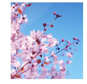 Prunus cerasifera 'Nigra by Laubwerk