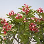 Plumeria rubra - part of Laubwerk Plants Kit Freebie (CG artwork by Mario Kelterbaum using Cinema 4D)
