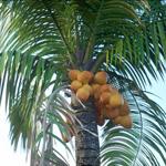 Cocos nucifera part of Plants Kit 7 (CG artwork by Mario Kelterbaum using Cinema 4D and Otoy OctaneRender)