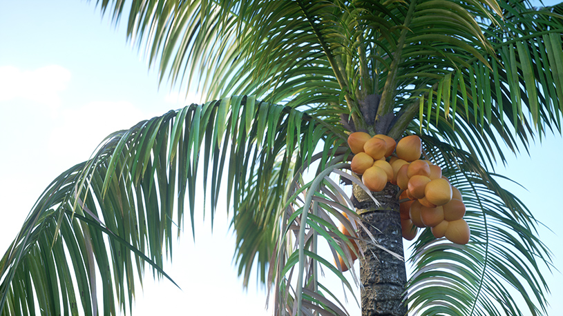 laubwerk-plants-kit7-promo-image_cocos-nucifera
