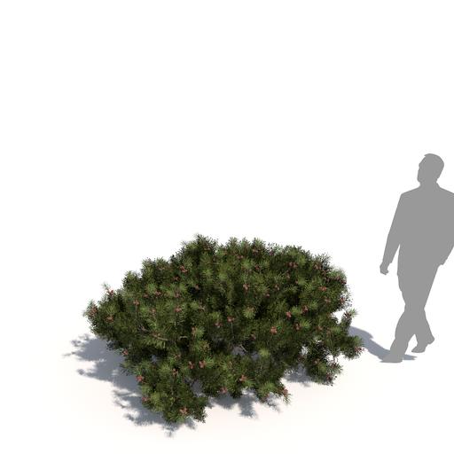 Pinus mugo subsp. mugo