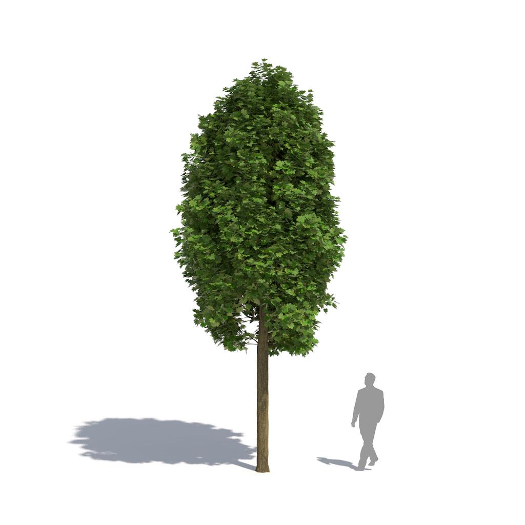 Acer platanoides'Columnare'
