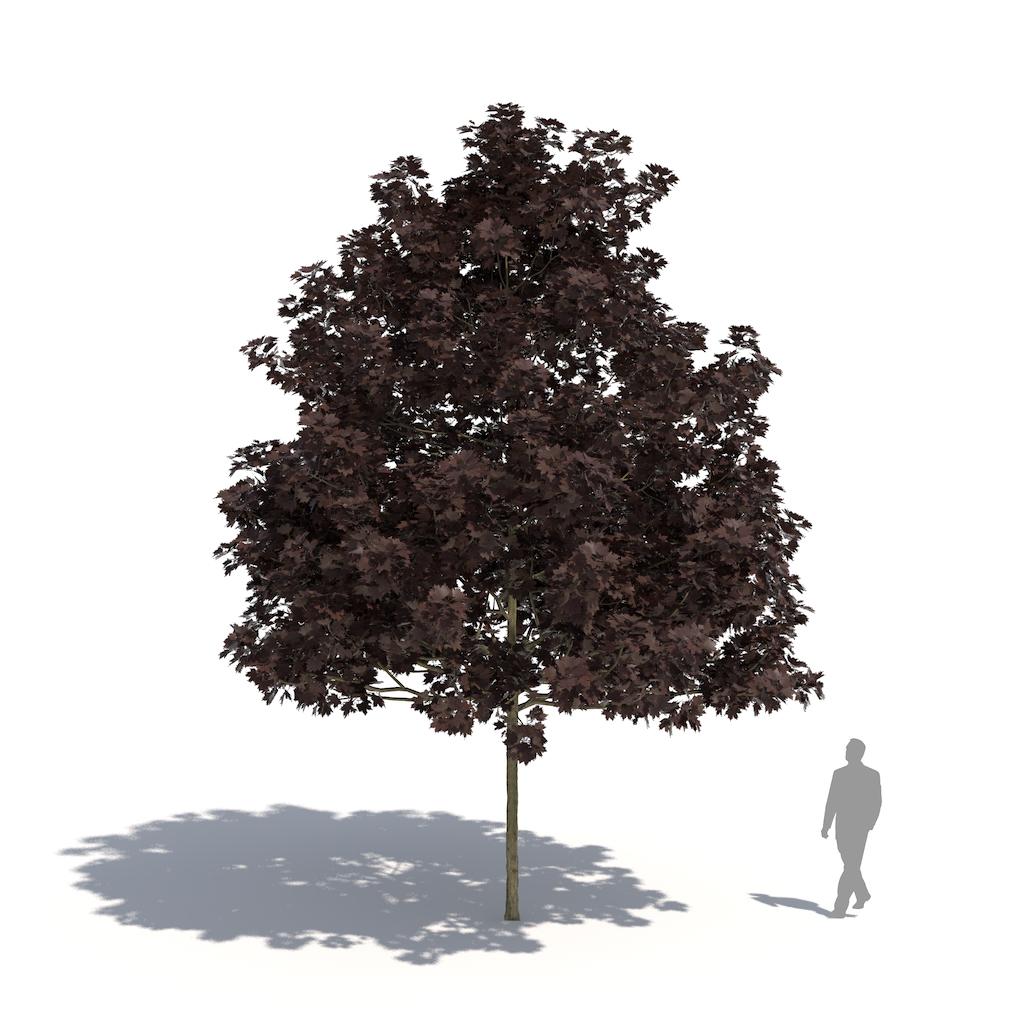 Acer platanoides 'Faassen's Black'