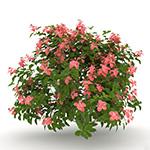 Laubwerk Plants RPC - Pink Mussaenda