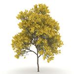 Laubwerk Plants RPC - Silver Wattle