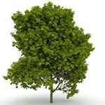 Laubwerk Plants RPC - Sugar Maple