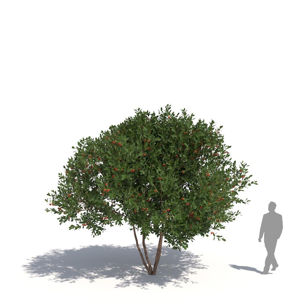 Laubwerk Plant Arbutus unedo