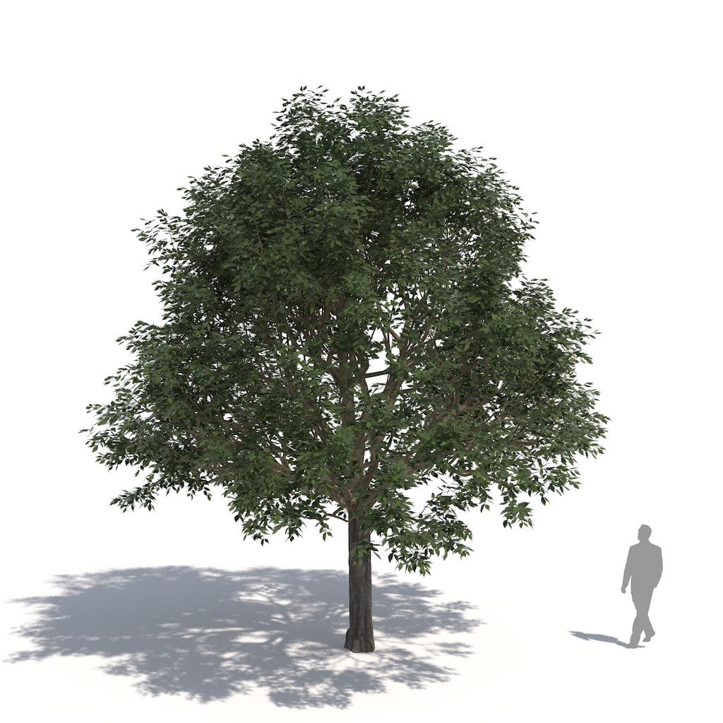 Laubwerk Plant European nettle tree (Celtis australis)