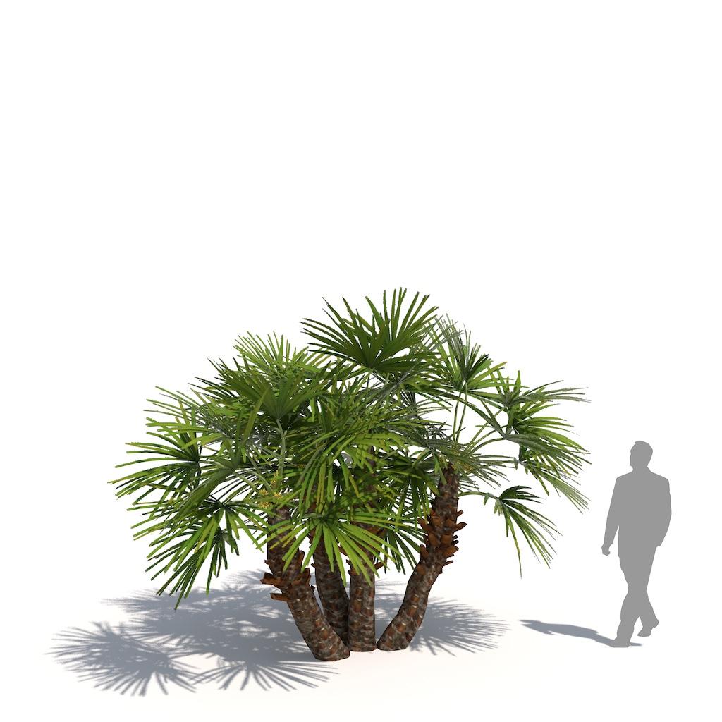 Laubwerk Plant Mediterranean dwarf palm (Chamaerops humilis)