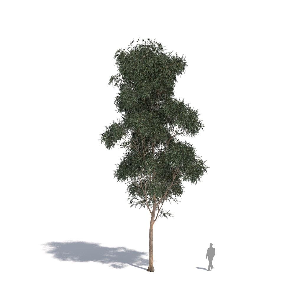 Laubwerk Plant southern blue gum (Eucalyptus globulus)