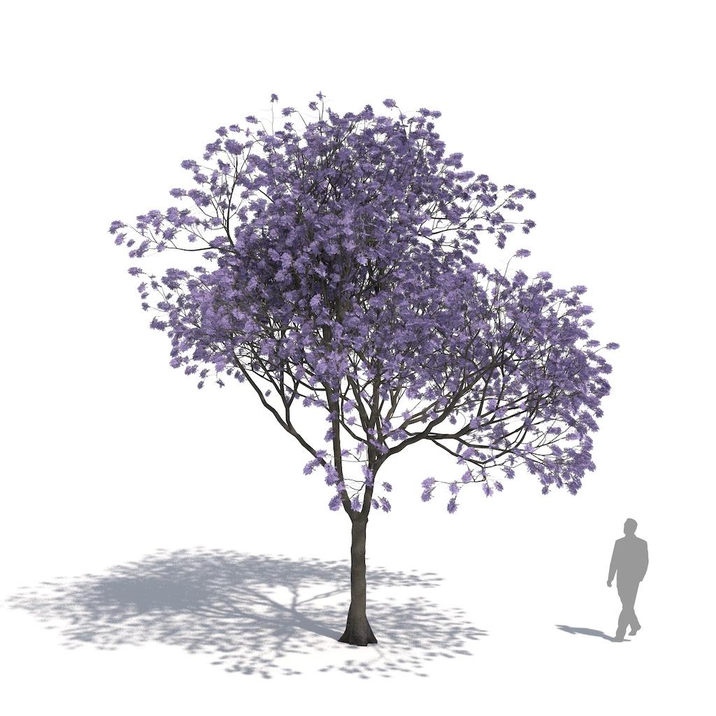 Laubwerk Plant Jacaranda (Jacaranda mimosifolia)
