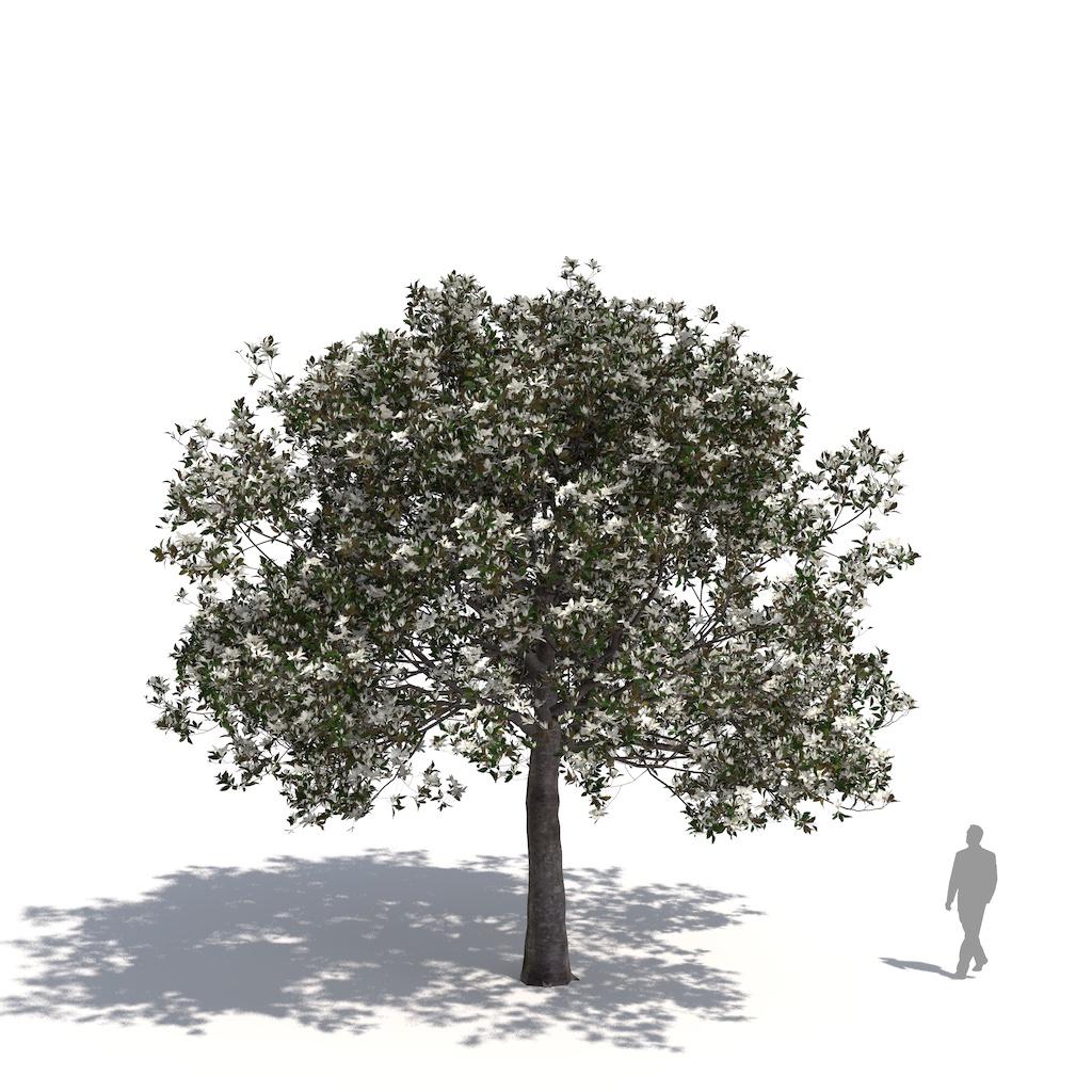 Laubwerk Plant Southern Magnolia (Magnolia grandiflora)