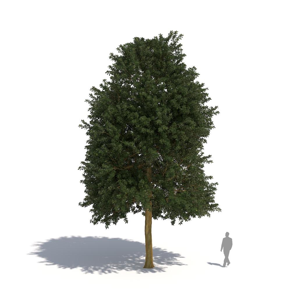 Laubwerk Plant holm oak (Quercus ilex)