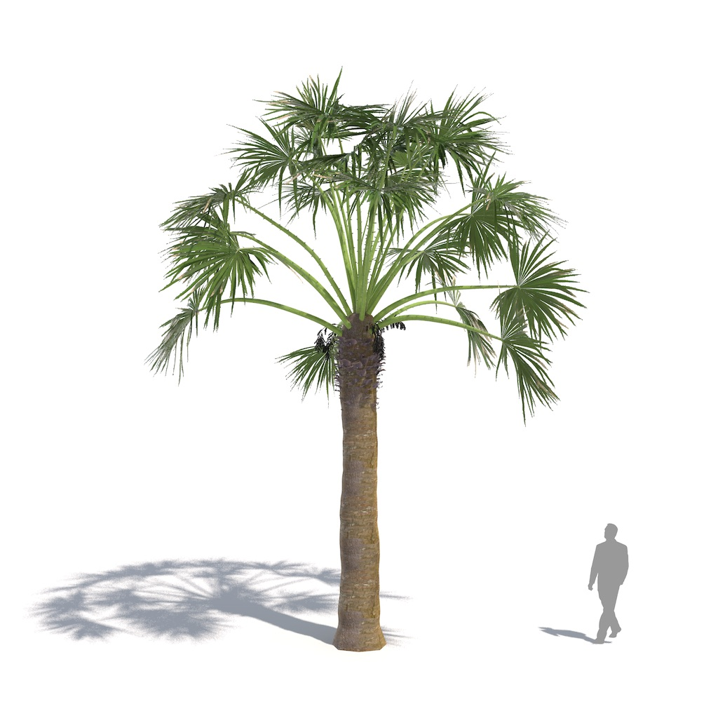 Laubwerk Plant desert fan palm (Washingtonia filifera)